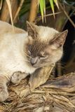 Light brown cat napping cozily under a palm shrub near Spinola Bay at St. Julian`s, Malta. Typical Maltese street life. Light brown cat with blue eyes napping Royalty Free Stock Images