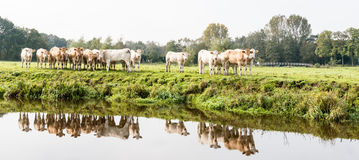 Light brown colored cows are reflected in the water Royalty Free Stock Image