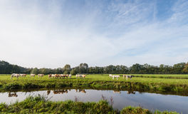 Light brown colored cows are reflected in the water Stock Photography