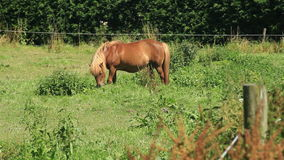 Light Brown Colored Shetland Pony Grazing in the Meadow stock video