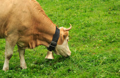 A light brown cow with a bell in Switzerland Royalty Free Stock Images