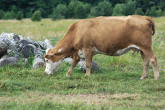 Light brown cow eating grass in a field Stock Photography