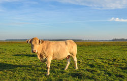 Light brown cow with horns in low evening sunlight Stock Photography