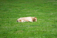Light brown cow lying on pasture Royalty Free Stock Photo