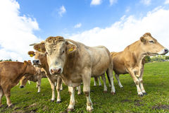 Light brown cows Royalty Free Stock Image