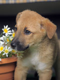 Light brown crossbreed puppy. Against wicker fence on the artificial grass in studio Royalty Free Stock Photos
