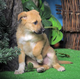 Light brown crossbreed puppy Stock Photography