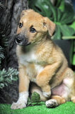 Light brown crossbreed puppy Stock Image