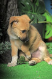 Light brown crossbreed puppy Royalty Free Stock Photos