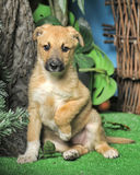 Light brown crossbreed puppy Royalty Free Stock Image