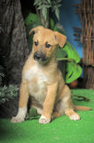 Light brown crossbreed puppy Stock Photos