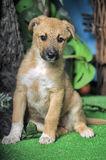 Light brown crossbreed puppy Stock Photo