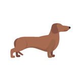 Light Brown Dachshund breed standing Royalty Free Stock Photography
