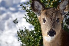 Light Brown Deer Standing in the Snow in Front of Tree Leave Stock Photos