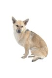 Light brown  dog. Light brown a dog on a white background Stock Photos