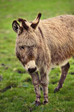 Light brown donkey in meadow looking Stock Photo