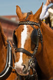 Light brown draught-horse with blinkers. For couch on sunny day at festival Royalty Free Stock Photo