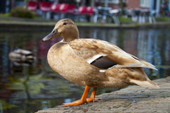 Light brown duck Royalty Free Stock Photo