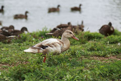 Light brown duck standing near the pond. On a sunny day Royalty Free Stock Photography