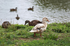 Light Brown duck walking along the river bank Stock Photography