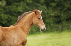 Light brown foal Stock Images