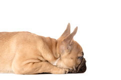 French bulldog before white background Stock Images