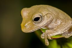 Light-brown frog on Philodendron leaf royalty free stock image