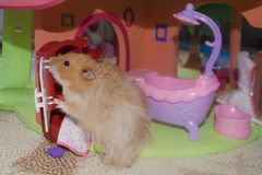 Light brown furry hamster washes and looks in the mirror in the bathroom royalty free stock image