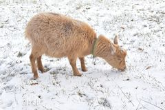 A light brown goat enjoying a snowy day on a farm in rural Wisconsin. A light brown nigerian dwarf goat enjoying the snack of little blades of grass peeking out stock image