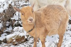 A light brown goat enjoying a snowy day on a farm in rural Wisconsin. A light brown nigerian dwarf goat enjoying the snack of a stick on a farm in rural royalty free stock images