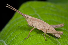 A light brown grasshopper Stock Photography