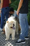 Light brown hair Chow Chow dog standing beside his owner. Light brown hair Chow Chow dog with grey tongue standing beside his owner stock photos
