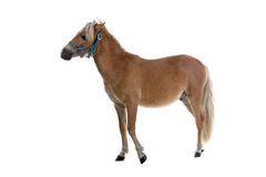 Light brown horse Royalty Free Stock Image