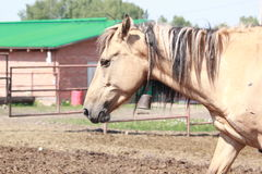 Light brown horse Stock Images