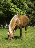 Light brown horse with black mane are standing on the grass Royalty Free Stock Photography