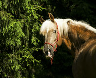 Light brown horse with black mane are standing on the grass Stock Images