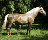 Light brown horse with black mane are standing on the grass Stock Photos