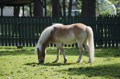 Light brown horse. A light brown horse enjoying fresh grass during a sunny summer day stock photos