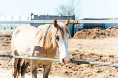 Light-brown horse Royalty Free Stock Image