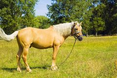 Light brown horse Palomino grazing on green meadow Stock Image
