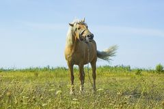 Light brown horse Palomino grazing on green meadow Royalty Free Stock Image