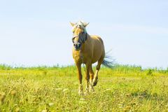 Light brown horse Palomino grazing on green meadow Stock Images