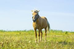 Light brown horse Palomino grazing on green meadow Stock Photography