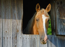 Light brown horse stares out of his barn window. Stock Images