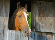 Light brown horse stares out of his barn window. Stock Photos