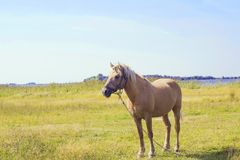 Light brown horse with white mane on green meadow near lake. Light brown horse with white mane stands on meadow near lake. Palomino horse in field on summer warm Royalty Free Stock Image