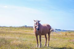 Light brown horse with white mane on green meadow near lake. Light brown horse with white mane stands on meadow near lake. Palomino horse in field on summer warm Stock Images