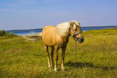 Light brown horse with white mane on green meadow near lake. Light brown horse with white mane stands on meadow near lake. Palomino horse in field on summer warm Stock Image