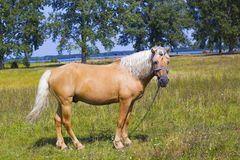 Light brown horse with white mane on green meadow near lake. Light brown horse with white mane stands on meadow near lake. Palomino horse in field on summer warm Stock Photography