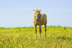 Light brown horse Palomino grazing on green meadow Stock Photos
